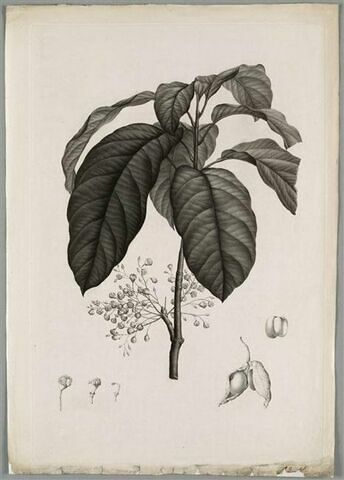 Etude d'une plante : Sterculia Monosperma
