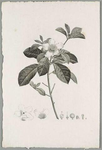Etude d'une plante : Gordonia Pubescens