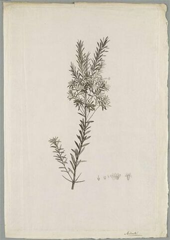 Etude d'une plante : Styphelia Gnidium