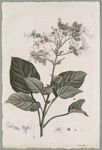 Etude d'une plante : Clerodendrum Viscosum