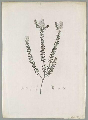 Etude d'une plante : Selago Lucida