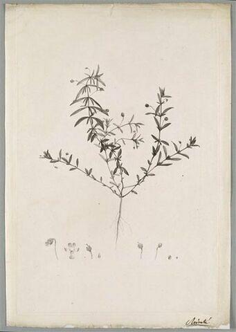 Etude d'une plante : Ionidium Polygalaefolium