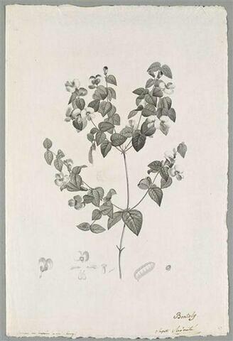 Branche fleurie : Platylobium Formosum