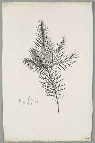 Branche : Persoonia Linearis