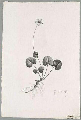 Plante fleurie : Parnassia Asarifolia