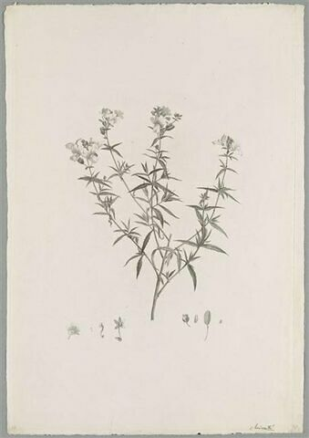 Branche fleurie : Nemesia Foetens