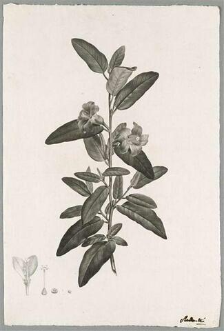 Branche fleurie : Lagunaea Squamea