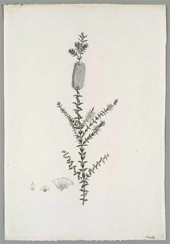Branche fleurie : Melaleuca Myrtifolia