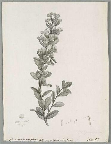 Branche fleurie : Rafnia Triflora