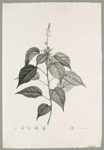 Branche fleurie : Croton Hircinum