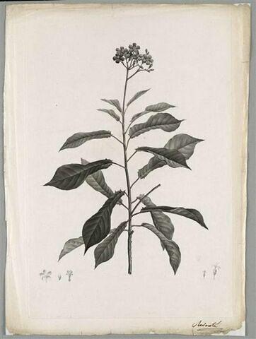 Branche fleurie : Jatropha Acuminata
