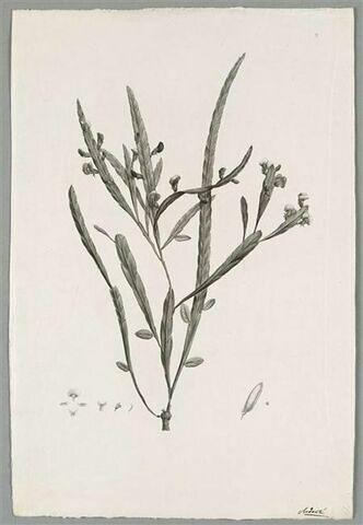 Branche fleurie : Platylobium Scolopendrium