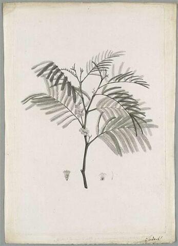 Branche de mimosa : Mimosa Decurrens