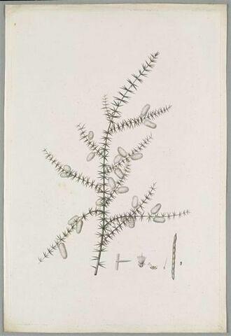 Branche fleurie : Mimosa Verticillata