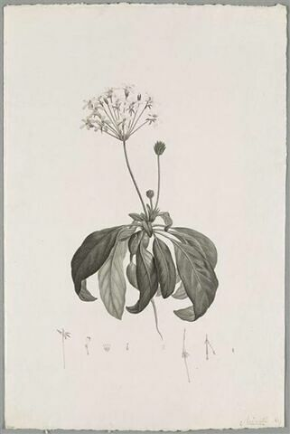 Branche fleurie : Pelargonium Radicatum