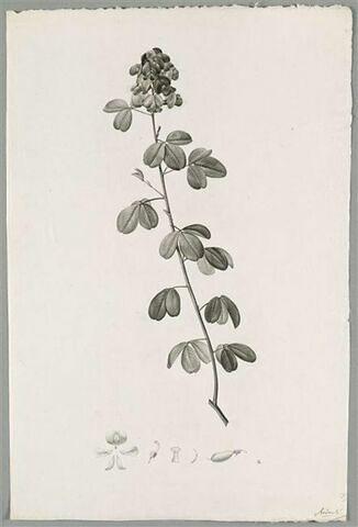 Branche fleurie : Crotalaria purpurea