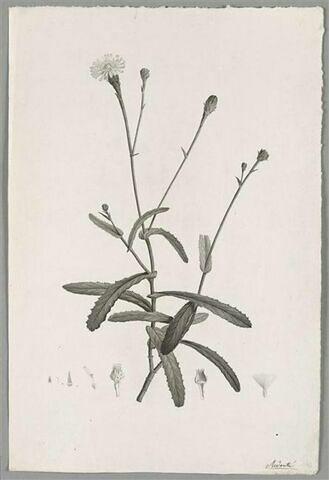 Branche fleurie : Picridium Ligulatum
