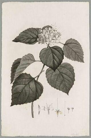 Branche fleurie : Volkameria Fragrans