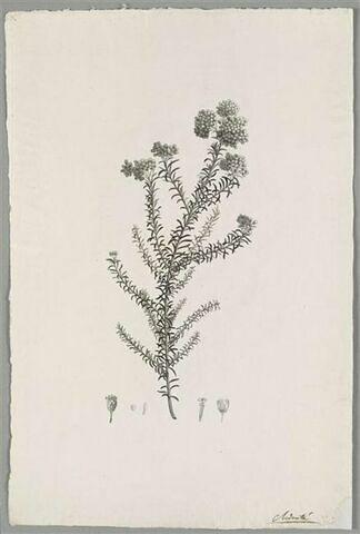 Branche fleurie : Gnaphalium Diosmaefolium