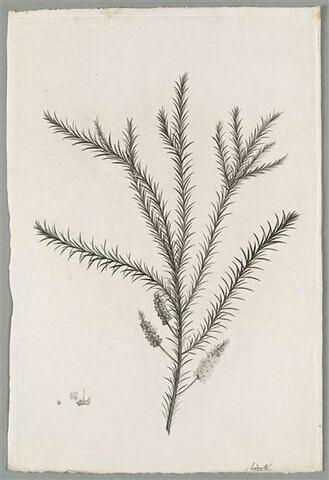 Branche fleurie : Melaleuca Ericaefolia