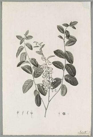 Branche fleurie : Andromeda Cassinefolia