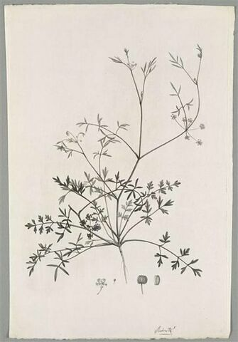 Plante fleurie : Apium Prostratum