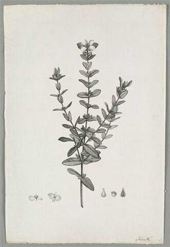 Branche fleurie : Ascyrum Stans