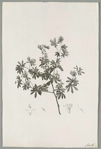 Branche fleurie : Lotus Anthylloides