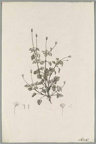 Branche fleurie : Cineraria Hirsuta