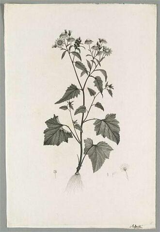 Plante fleurie : Cineraria Ramentosa
