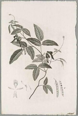 Branche fleurie : Kennedia Rubicunda