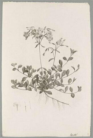 Plante fleurie : Phlox Reptans