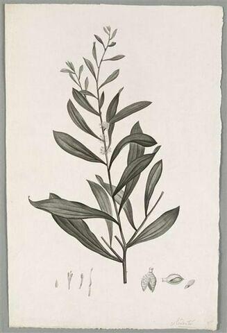 Branche fleurie : Conchium Dactyloïdes