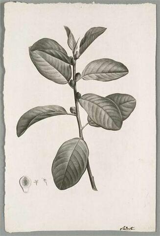Branche : Ficus Rubiginosa
