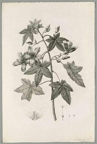 Branche fleurie : Lavatera Phoenicea
