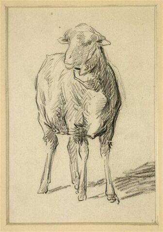 Mouton, vu de face
