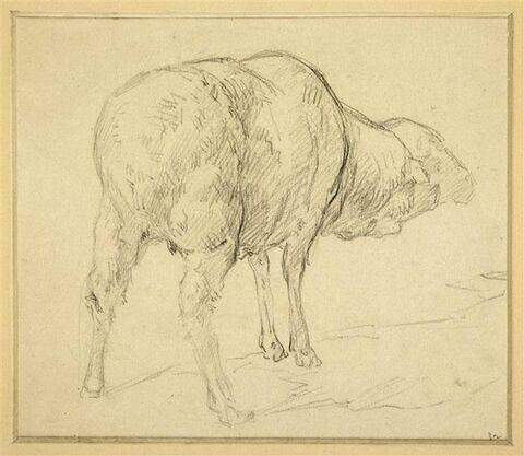 Mouton, vu par derrière