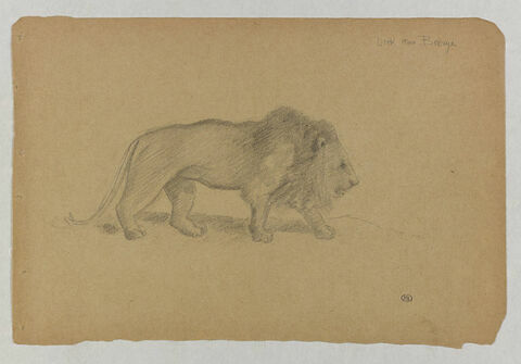 Lion marchant vers la droite