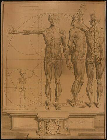 Propotions et diverses attitudes du corps humain représentées par autant de squelettes