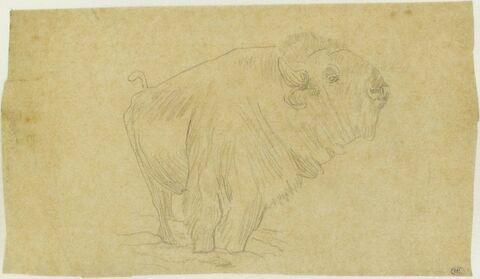 Bison, de profil à droite