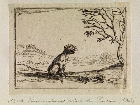 Lion rugissant près de son lionceau mort