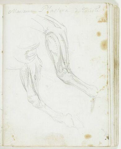 Études des jambes d'un cheval au galop