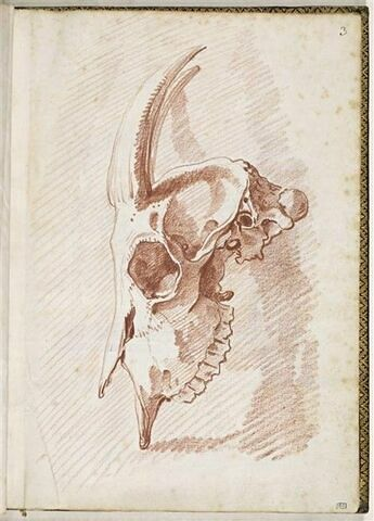 Crâne de chèvre